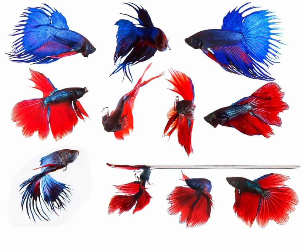 Mixed group of Bettas