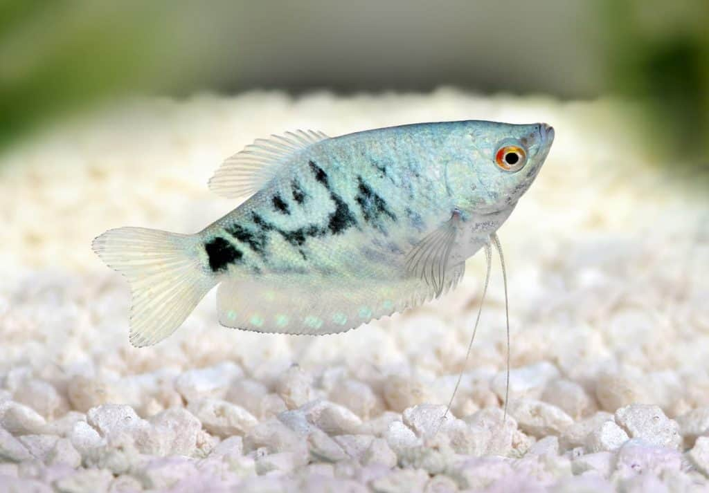 Opaline Gourami Female
